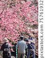 老人在春天公園拍攝盛開的櫻花 75761932