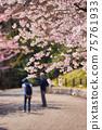 年長的夫婦在櫻花盛開的春天公園裡散步 75761933