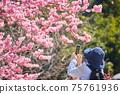 拍櫻花的照片盛開的一名資深婦女在有智能手機的春天公園 75761936