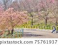 春天公園裡盛開的櫻花和賞櫻花的人的風景 75761937