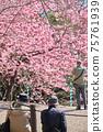 人們在春天公園裡看著盛開的櫻花 75761939