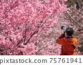一位攝影師在春天公園裡盛開的櫻花盛開 75761941