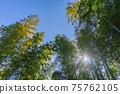 陽光透過竹林中的縫隙窺視 75762105
