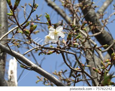櫻花盛開的小島花之海一排排的櫻花 75762242