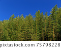 竹樹叢的圖像 75798228