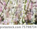 早春盛開的白色垂枝梅花 75798734