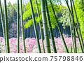 在竹林上盛開的梅花林 75798846