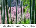 在竹林上盛開的梅花林 75798847