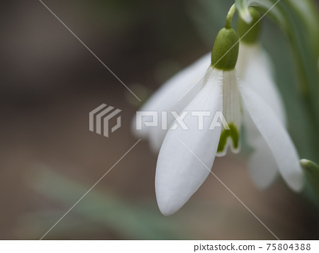 close up macro of white snowdrop spring flower with leaves on natural bokeh background, selective focus 75804388