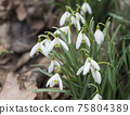 bunch of blooming white snowdrop spring flowers with green leaves on natural bokeh background, selective focus 75804389