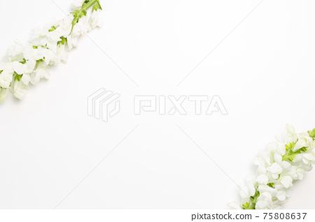 White snapdragon flowers on white background. flat lay, top view, copy space 75808637