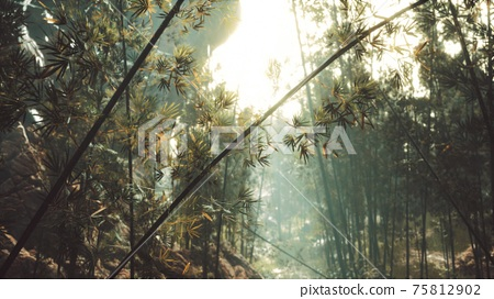 green bamboo forest with morning sunlight 75812902