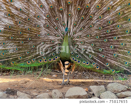 male peacock, showing its tail 75817655