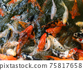 Koi fish or carp fish swimming  in pond 75817658