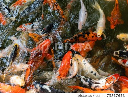 Koi fish or carp fish swimming  in pond 75817658