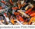Koi fish or carp fish swimming  in pond 75817660