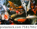 Koi fish or carp fish swimming  in pond 75817662