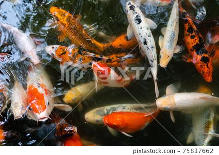 Koi fish or carp fish swimming  in pond 75817662