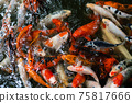Koi fish or carp fish swimming  in pond 75817666