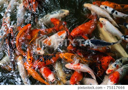 Koi fish or carp fish swimming  in pond 75817666