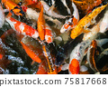 Koi fish or carp fish swimming  in pond 75817668