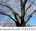 吉野櫻花樹盛開的櫻花樹 75819303