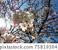 吉野櫻花樹盛開在春天的陽光下 75819304