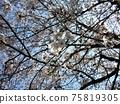 吉野櫻花樹盛開 75819305