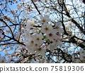 吉野櫻花樹盛開 75819306
