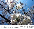 吉野櫻花樹盛開在春天的陽光下 75819307