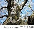 盛開的吉野櫻花樹,櫻花樹乾和花蕾 75819308