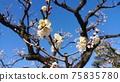 白李子在晴朗的天氣裡開得很漂亮 75835780