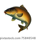 Carp fish (koi) realism isolate illustration. Fishing for big carp, feeder fishing, carp fishing. 75846548