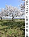 小松河Senbonzakura 75859665