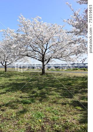 Komatsu River Senbonzakura 75859665
