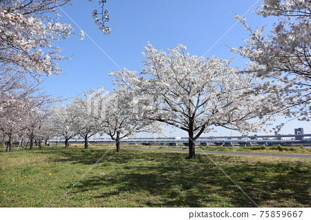 Komatsu River Senbonzakura 75859667