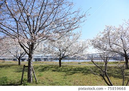 Komatsu River Senbonzakura 75859668