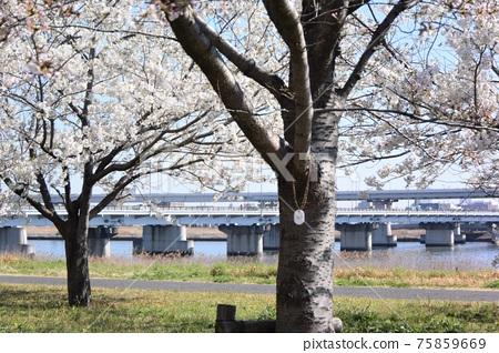 Komatsu River Senbonzakura 75859669
