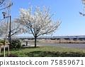 小松河Senbonzakura 75859671