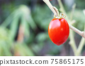 Fresh red tomato on tree on blurred green nature background 75865175