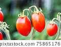 Fresh red tomatoes on tree on blurred green nature background 75865176
