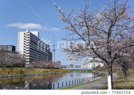 cherry blossom, cherry tree, bloom 75865558