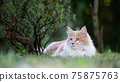 maine coon resting outdoors beside rosemary bush 75875763