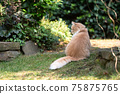 maine coon cat sitting in green garden 75875765