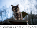young calico maine coon cat outdoors on cat tree 75875770