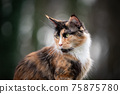 beautiful calico maine coon cat outdoors portrait 75875780
