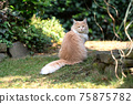 maine coon cat sitting in green garden 75875782