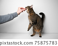 pet owner feeding impatient hungry tabby cat 75875783