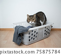 cat is curious about laundry basket 75875784
