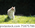 young maine coon cat on sunny meadow 75875786